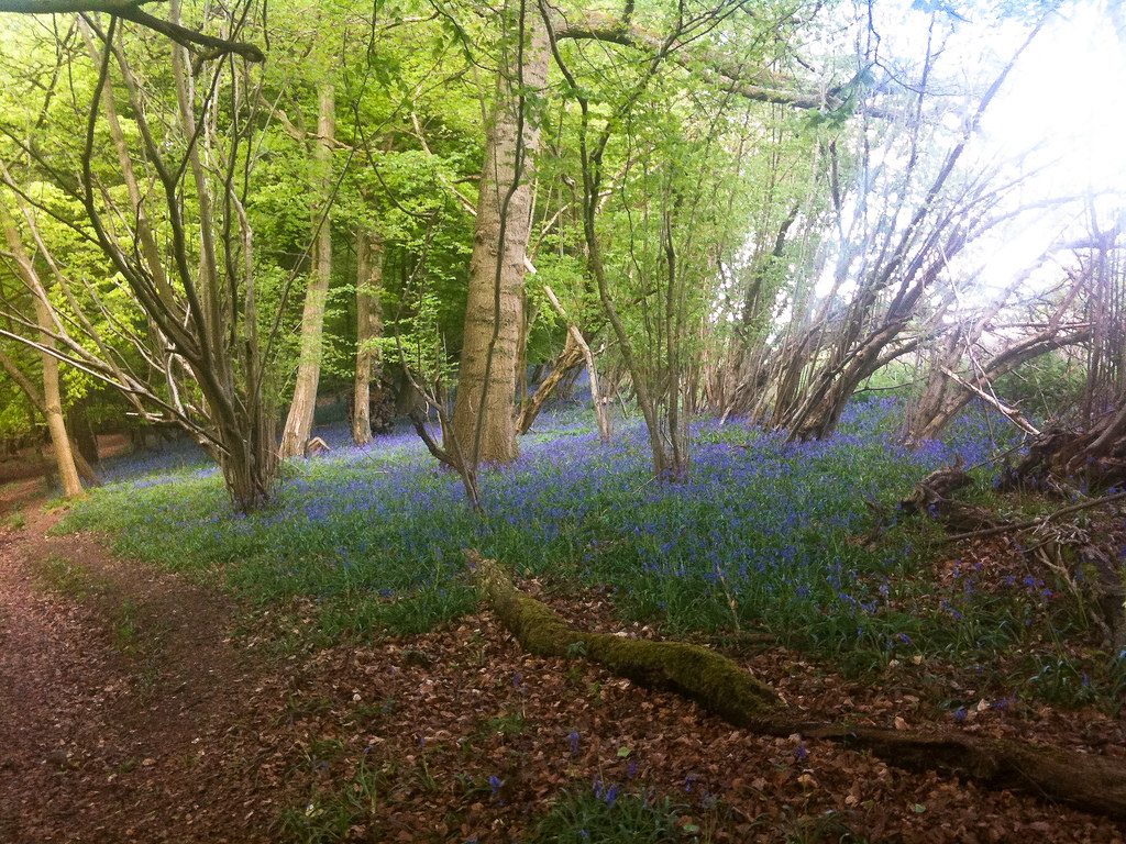 Buckinghamshire bluebells 1