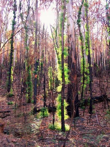 Bush Fire Recovery 2