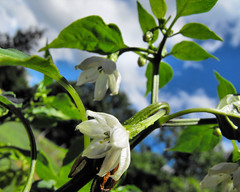 pepper flowers