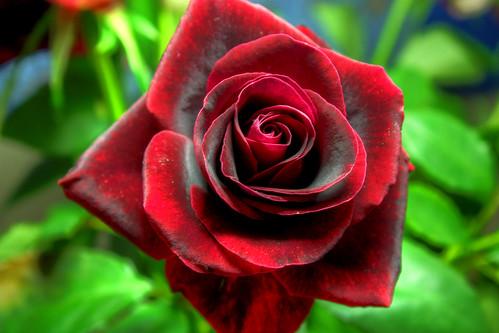 HDR Rose