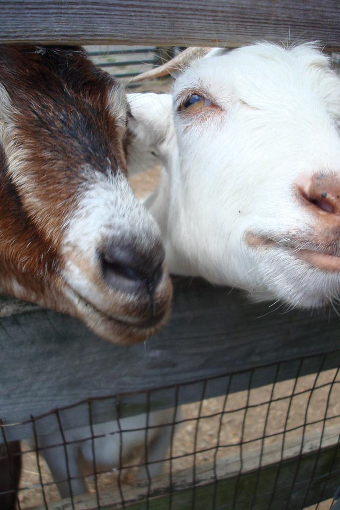 greedy goats