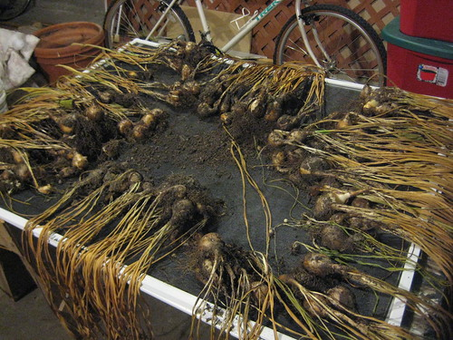 drying daffodil bulbs
