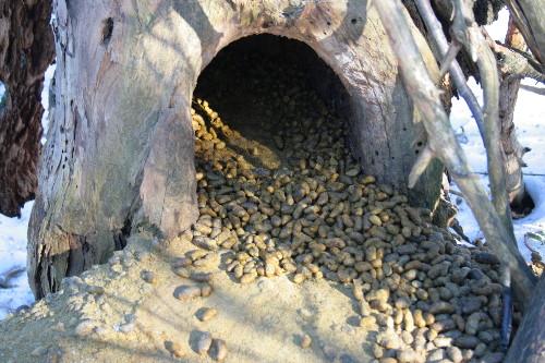 Porcupine den site