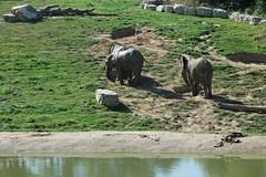 Afrikanische Elefanten im Zoo Parc de Beauval