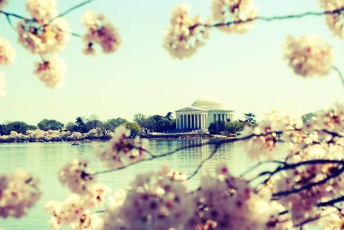 CherryBlossom006