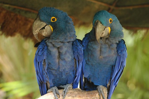 Hyazinth-Aras im Zoo de La Flèche
