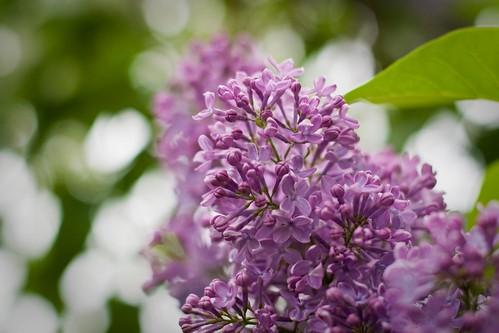 123/365 | lilacs in full bloom