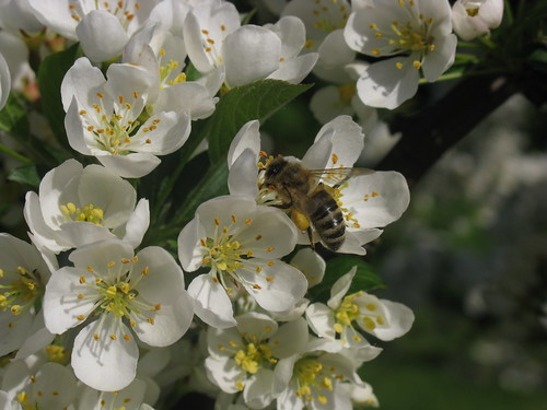 Biene in Zierapfelblüte