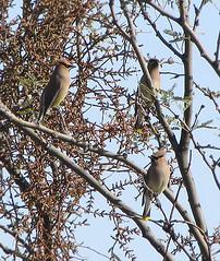 Cedar Wax Wing Birds