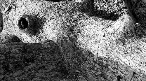 fallen white oak trunk