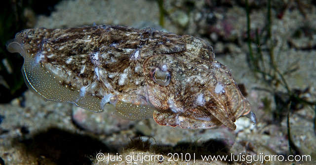 Cuttlefish Portrait-2/365