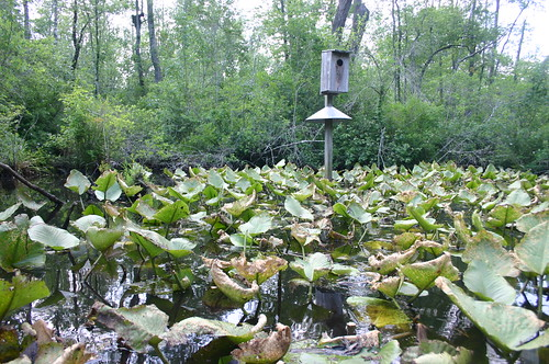 Paddling Perquiman County Blueway - Lilypads and Duck Box