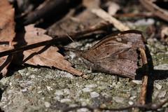 金沢自然公園のテングチョウ(Nettle-tree Butterfly at Kanazawa Nature Park, Japan)