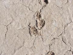 Porcupine Tracks crossing Mud!!!