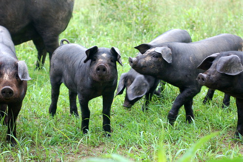 three little pigs (or so)
