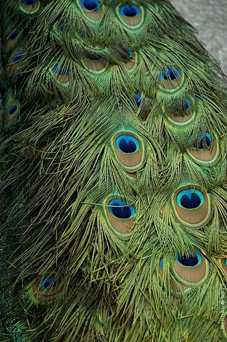 peacock no.4