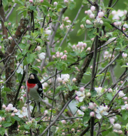 Rose-breasted Grosbeak