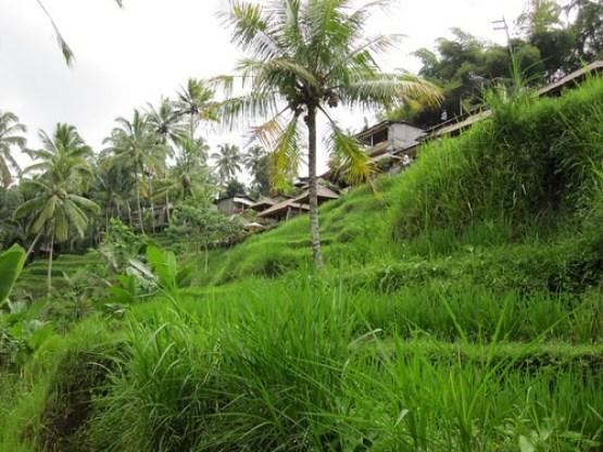 Bali Rice Paddies 2