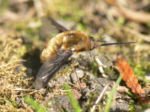 Bee fly (Bombylius major)