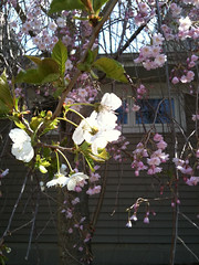 Cherry blossoms on same tree