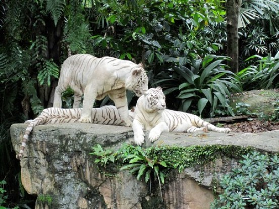 White Tigers 3