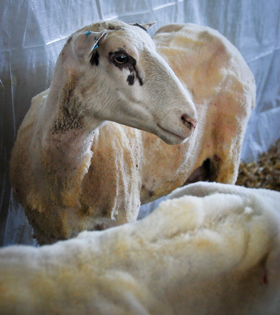 sheep shearing-44