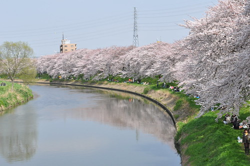 Kita Koshigaya river and sakura