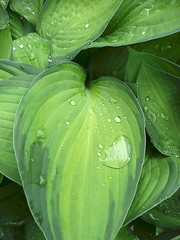 Raindrops on hosta