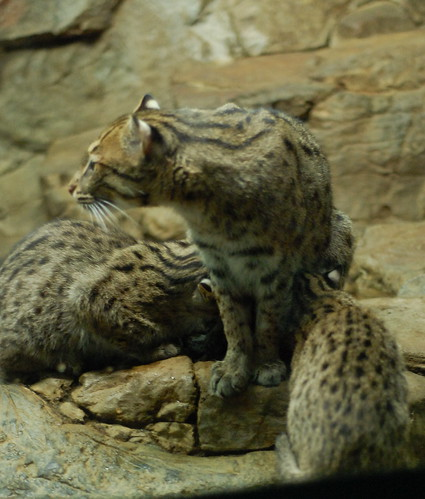 Fishing Cat Family