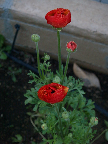 First Ranunculus