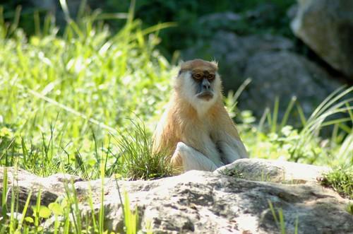 Husarenaffe im Zoo Parc de Beauval