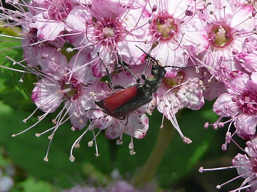 Backyard beetle pollinating pink flowers