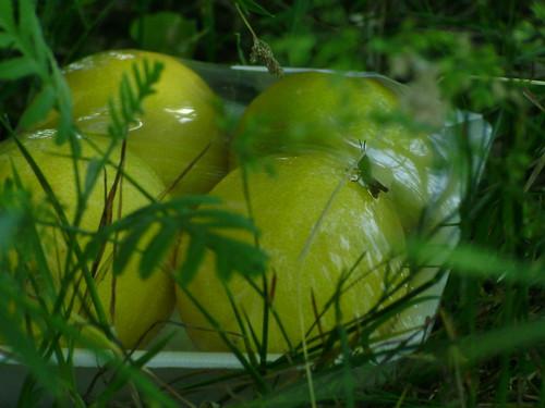 Grasshopper on the lemons :)
