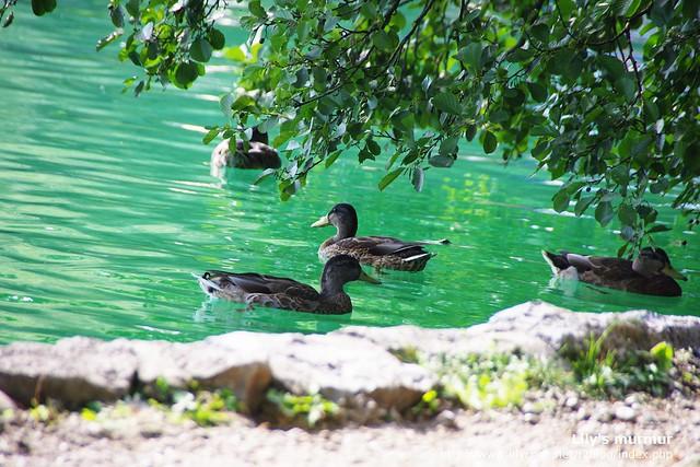 Bled真的美到讓你坐在湖邊發呆光看鴨子游泳都覺得是一種奢侈的幸福。