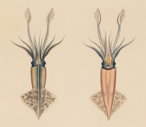 Onychoteuthis rutilus