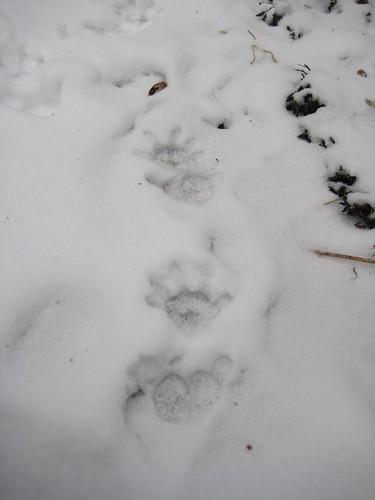 Raccoon tracks?