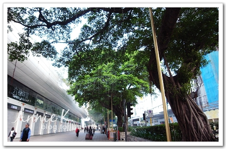 香港老榕樹