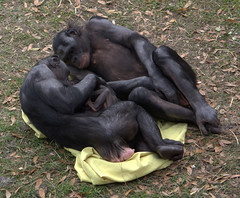 Bonobos adoring baby