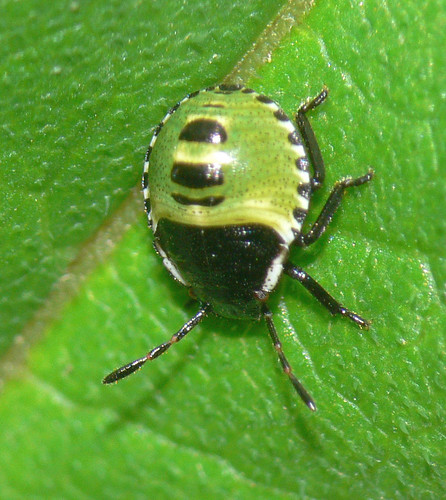 Palomena prasina nymph