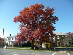 Parker Hall oak tree
