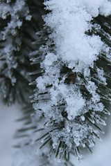 Snowy pine tree branch
