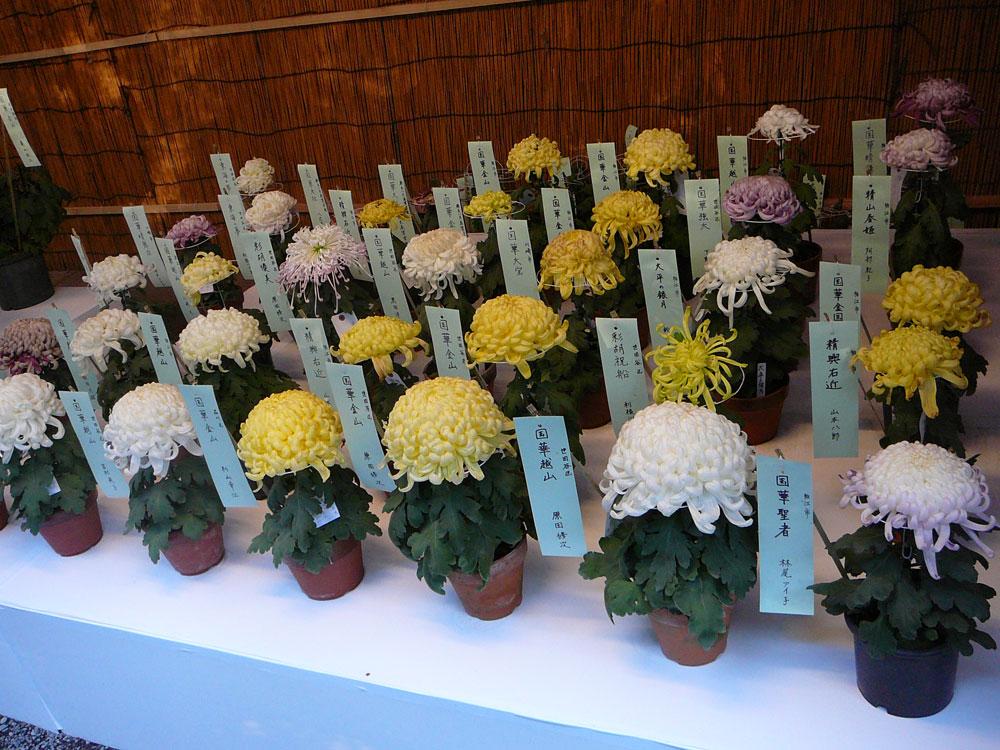chrisanthemum