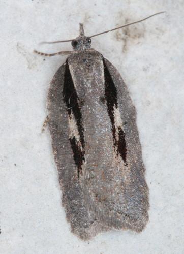 3531 - Acleris hastiana