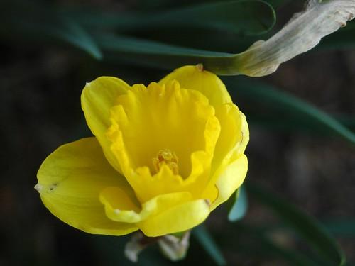 First Daffodil 032710