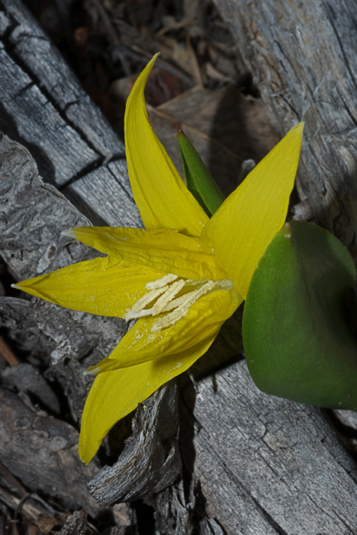 Yellow Glacier Lily