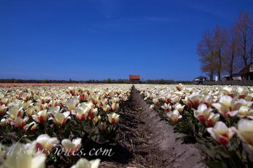 La casa entre tulipanes