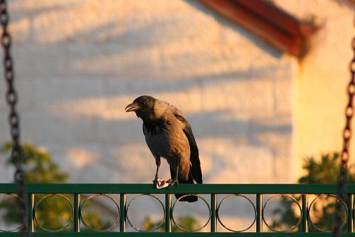 Crow on Fence