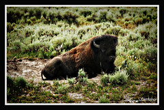 buffaloinrepose