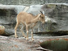 Barbary Sheep lamb