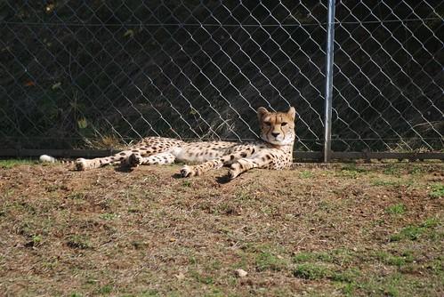 Gepard im Zoo de Doué-la-Fontaine
